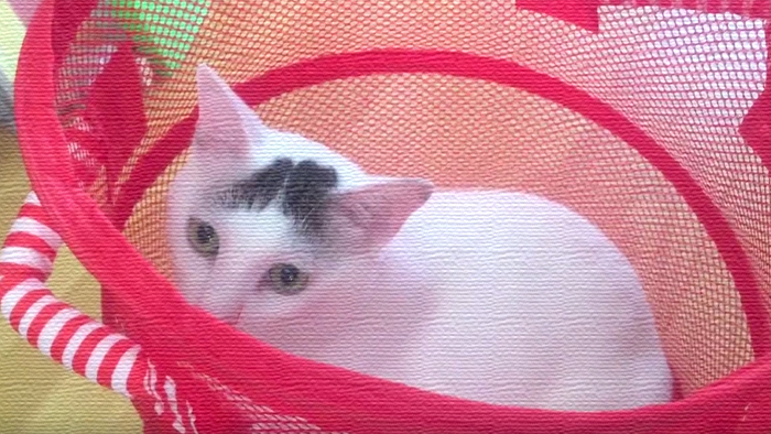 洗濯カゴに入って鼻息荒く遊ぶヅラ猫!最後は興奮しすぎて…