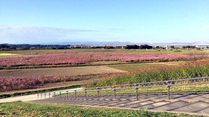 鴻巣市「コスモスフェスティバル」へ!1000万本のコスモスが美しいですよ