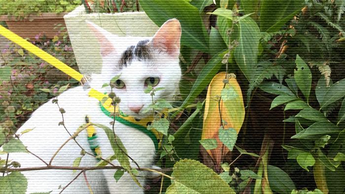 家猫が外へ散歩へ出かけたらヅラ猫はどう変わるの?