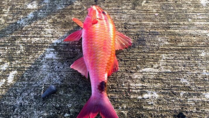 早朝堤防釣りでカワハギ・オジサン・エソ・ベラ!|神津島釣りキャンプ
