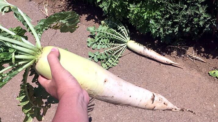 畑で大根や人参を収穫!簡単ぬか床キットでぬか漬けにしてみたよ