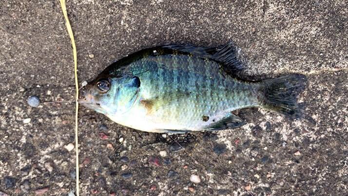 江戸川でテナガエビ釣り!釣りものとして十分楽しい手軽釣り