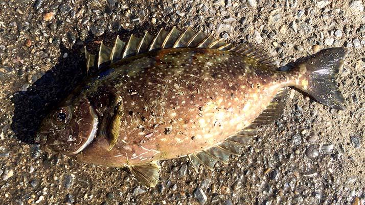 週末釣りで三浦半島の三戸浜堤防へ!釣果はアイゴ(もらいもの)