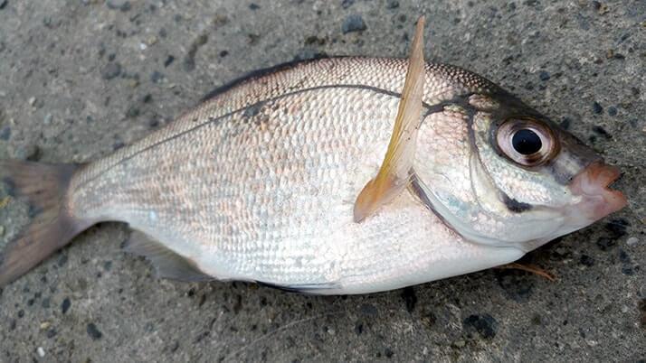 千葉内房堤防五目釣り!グレ(メジナ)とムラソイで満足釣果