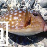 千葉館山自衛隊堤防釣行!釣れる魚種(外道)は豊富も本命ならずの五目釣り