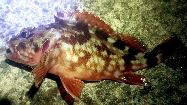 堤防海釣りで釣れる魚まとめ!写真付きで危険魚や毒魚も紹介