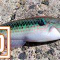 ベラは味が良く美味しい魚!刺身でも旨いベラは粋な釣魚