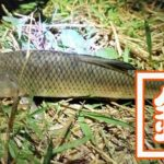 江戸川でテナガエビを餌にウナギ釣り!だけど釣れるはニゴイばかり…
