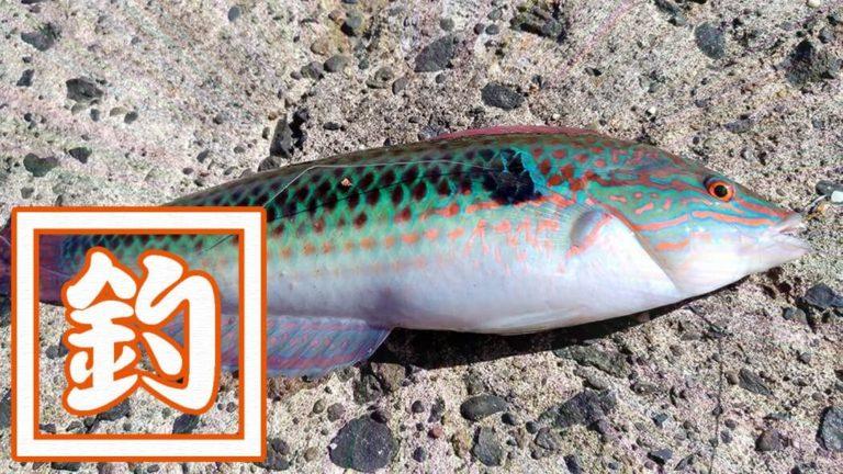 ベラは美味しい魚!釣って楽しい刺身でも旨いベラは粋な釣魚