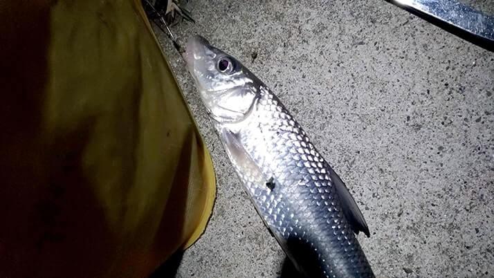 江戸川でテナガエビ&ニゴイ釣り!本当はウナギ狙いですが…
