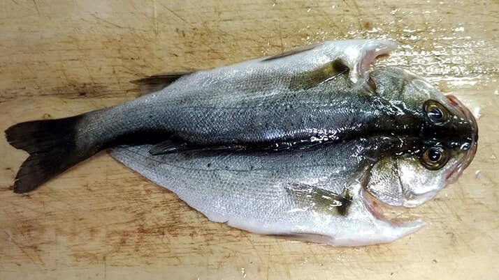 釣ったサバでしめ鯖&アジにセイゴ・メバルやイイダコの干物【釣りメシ】