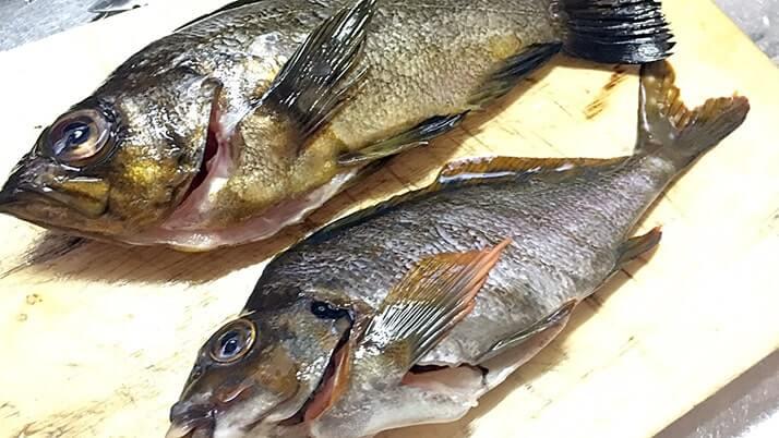 ドンコ鍋とタカノハダイのしゃぶしゃぶとメバルの刺身 釣り飯