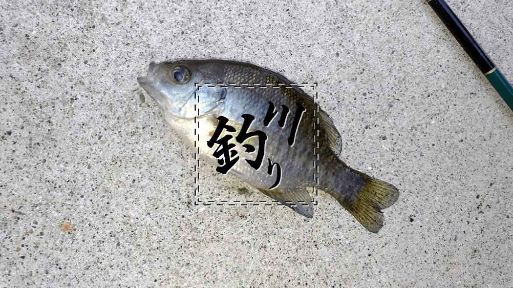 小物釣りin江戸川!タナゴ狙いが…ブルーギルだらけ(泣)