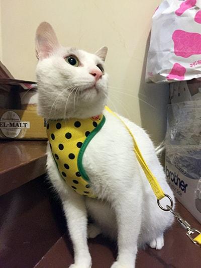 【飼い猫日記】ぼくは大五郎 内弁慶なヅラ猫さ