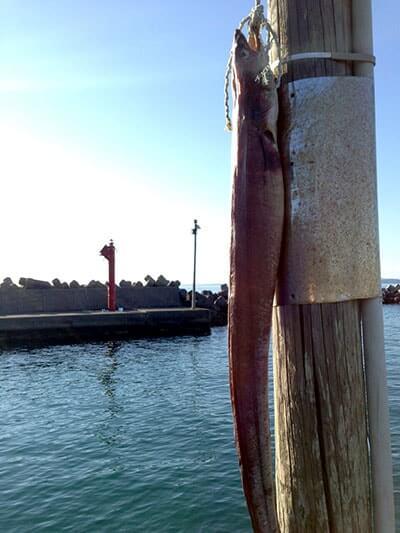 今年の釣り初めは元日から!千葉内房での堤防からの五目釣りとサメの巨大な干物